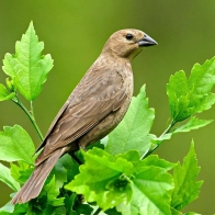 Female Blue Grosbeak Hd Wallpapers