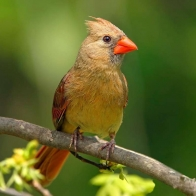 Female Cardinal Hd Wallpapers