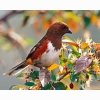 Female Rufous Hd Wallpapers