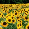 Download field of sunflowers, field of sunflowers  Wallpaper download for Desktop, PC, Laptop. field of sunflowers HD Wallpapers, High Definition Quality Wallpapers of field of sunflowers.