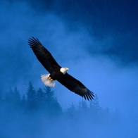 Flight Of Freedom Bald Eagle Wallpapers