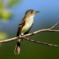 Flycatcher Hd Wallpapers