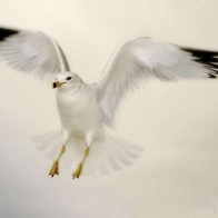 Flying Dove Wallpapers