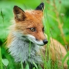 Download fox wallpapers, fox wallpapers Free Wallpaper download for Desktop, PC, Laptop. fox wallpapers HD Wallpapers, High Definition Quality Wallpapers of fox wallpapers.