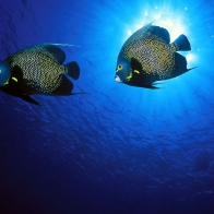 French Angelfish Wallpapers
