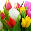 Download fresh tulips, fresh tulips  Wallpaper download for Desktop, PC, Laptop. fresh tulips HD Wallpapers, High Definition Quality Wallpapers of fresh tulips.