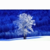 Frosted Aspen Tree Wallpapers