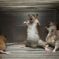 Funny Rat Surrender Wallpaper