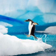 Gentoo Penguins Antarctica Wallpapers