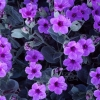 Download giant four o 039 clock flowers, giant four o 039 clock flowers  Wallpaper download for Desktop, PC, Laptop. giant four o 039 clock flowers HD Wallpapers, High Definition Quality Wallpapers of giant four o 039 clock flowers.