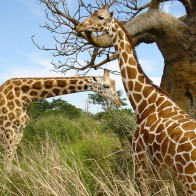 Giraffe Pair Wallpapers