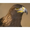 Golden Eagle Hd Wallpapers