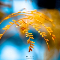 Golden Foliage Wallpapers