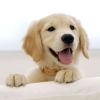 Download golden retriever puppy wallpapers, golden retriever puppy wallpapers Free Wallpaper download for Desktop, PC, Laptop. golden retriever puppy wallpapers HD Wallpapers, High Definition Quality Wallpapers of golden retriever puppy wallpapers.