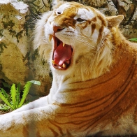 Golden Tiger Hdtv 1080p Wallpapers