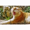 Golden Tiger Wide Hd Wallpapers