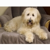 Goldendoodle Wallpapers