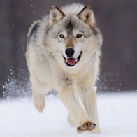 Gray Wolf Minnesota Wallpapers