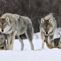 Gray Wolves Norway Wallpapers