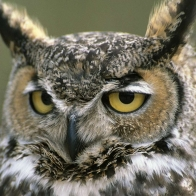 Great Horned Owl Hd Wallpapers