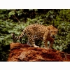 Great Jaguar Wallpapers
