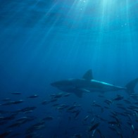 Great White Shark Australia Wallpapers