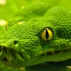 Download green anaconda wallpapers, green anaconda wallpapers Free Wallpaper download for Desktop, PC, Laptop. green anaconda wallpapers HD Wallpapers, High Definition Quality Wallpapers of green anaconda wallpapers.