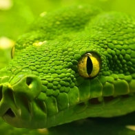 Green Anaconda Wallpapers