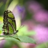 Download green butterfly wallpapers, green butterfly wallpapers Free Wallpaper download for Desktop, PC, Laptop. green butterfly wallpapers HD Wallpapers, High Definition Quality Wallpapers of green butterfly wallpapers.