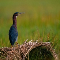 Green Heron Hd Wallpapers