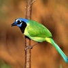 Download green jay hd wallpapers, green jay hd wallpapers Free Wallpaper download for Desktop, PC, Laptop. green jay hd wallpapers HD Wallpapers, High Definition Quality Wallpapers of green jay hd wallpapers.