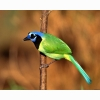 Green Jay Hd Wallpapers