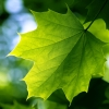 Download green leaf wallpapers, green leaf wallpapers Free Wallpaper download for Desktop, PC, Laptop. green leaf wallpapers HD Wallpapers, High Definition Quality Wallpapers of green leaf wallpapers.