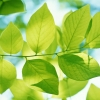 Download green leaves, green leaves  Wallpaper download for Desktop, PC, Laptop. green leaves HD Wallpapers, High Definition Quality Wallpapers of green leaves.