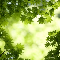 Green Maple Leaves Wallpapers