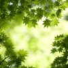 green maple leaves,nature landscape Wallpapers, nature landscape Wallpaper for Desktop, PC, Laptop. nature landscape Wallpapers HD Wallpapers, High Definition Quality Wallpapers of nature landscape Wallpapers.