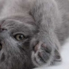 Download grey kitten cover, grey kitten cover  Wallpaper download for Desktop, PC, Laptop. grey kitten cover HD Wallpapers, High Definition Quality Wallpapers of grey kitten cover.