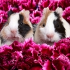 Download guinea pigs wallpapers, guinea pigs wallpapers Free Wallpaper download for Desktop, PC, Laptop. guinea pigs wallpapers HD Wallpapers, High Definition Quality Wallpapers of guinea pigs wallpapers.