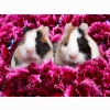 Guinea Pigs Wallpapers