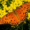 Download gulf fritillary wallpapers, gulf fritillary wallpapers Free Wallpaper download for Desktop, PC, Laptop. gulf fritillary wallpapers HD Wallpapers, High Definition Quality Wallpapers of gulf fritillary wallpapers.
