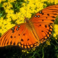 Gulf Fritillary Wallpapers