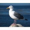 Gull Hd Wallpapers