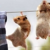 Download hamsters hanging cover, hamsters hanging cover  Wallpaper download for Desktop, PC, Laptop. hamsters hanging cover HD Wallpapers, High Definition Quality Wallpapers of hamsters hanging cover.