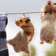 Hamsters Hanging Cover