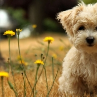 Havanese Silk Dog Wallpapers