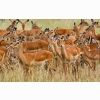 Herd Of Female Impala Masai Mara Kenya Wallpapers