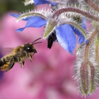 Hovering Honey Bee Wallpapers
