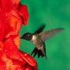 Download hummingbird hd wallpapers, hummingbird hd wallpapers Free Wallpaper download for Desktop, PC, Laptop. hummingbird hd wallpapers HD Wallpapers, High Definition Quality Wallpapers of hummingbird hd wallpapers.