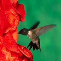 Hummingbird Hd Wallpapers