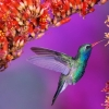 Download hummingbird wallpapers, hummingbird wallpapers Free Wallpaper download for Desktop, PC, Laptop. hummingbird wallpapers HD Wallpapers, High Definition Quality Wallpapers of hummingbird wallpapers.